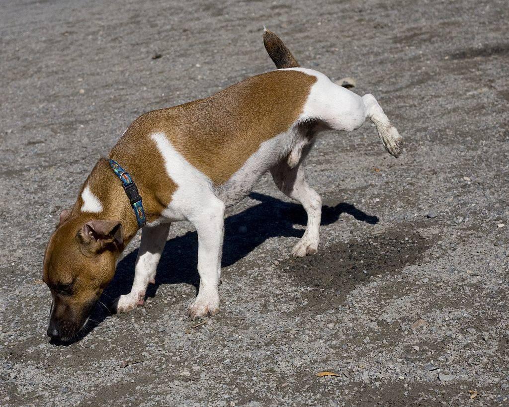 ¿Por qué orina un perro?