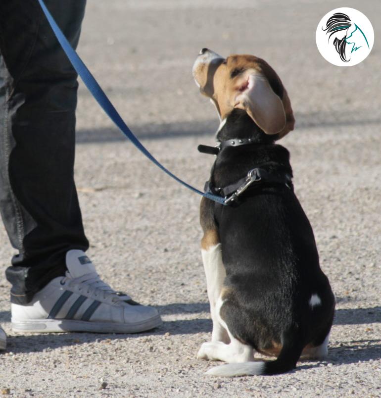educando a un cachorro de beagle