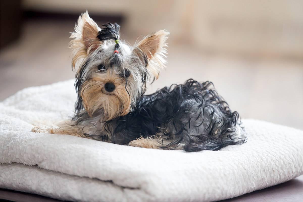 Yorkshire terrier tumbado en una toalla