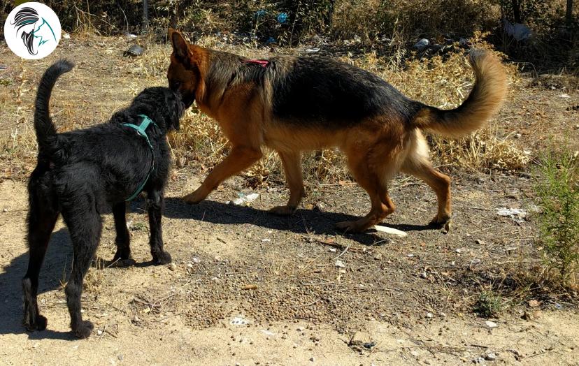 Perro reactivo a perros, por inseguridad