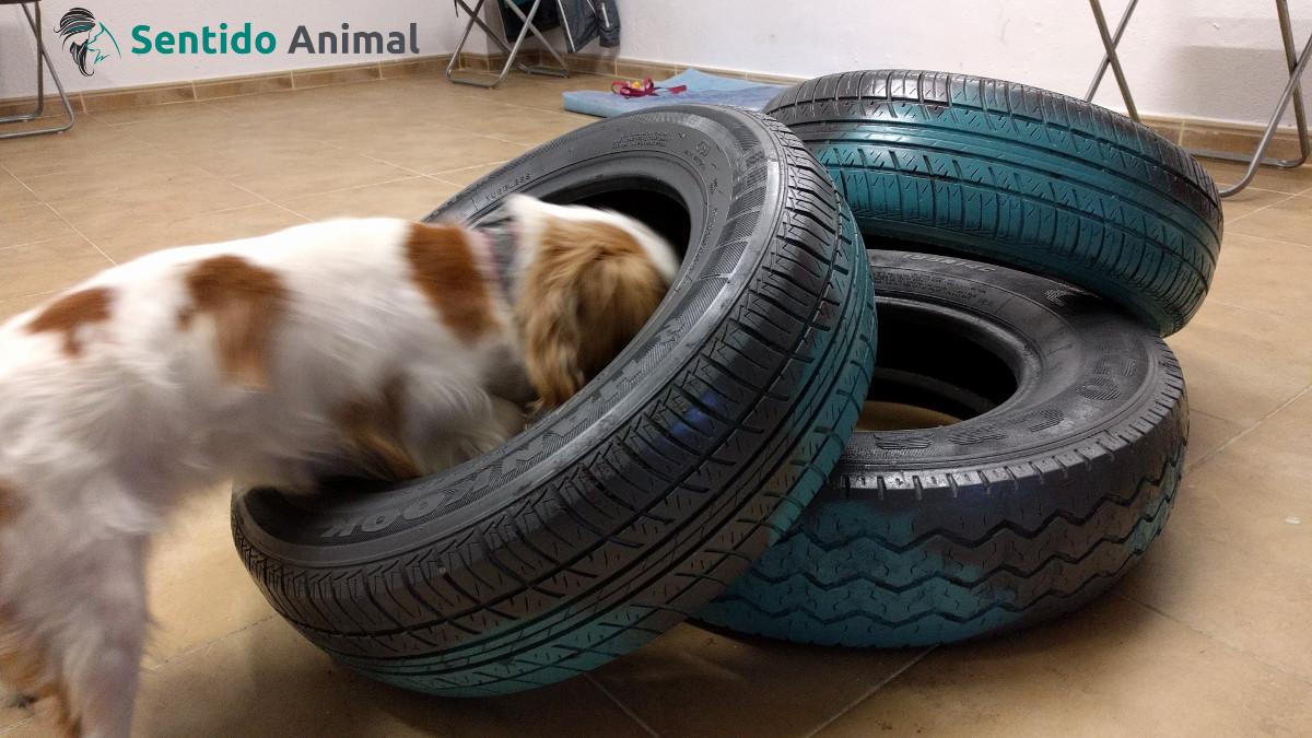 Ejercicio de propiocepción canina con ruedas