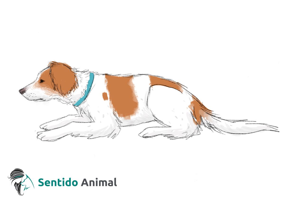 Posición de tumbado en esfinge – comunicación canina