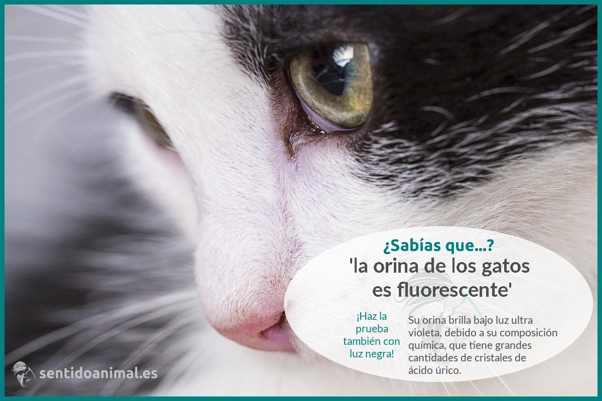 ¿Sabías que el pipí de tu gato brilla en la oscuridad?