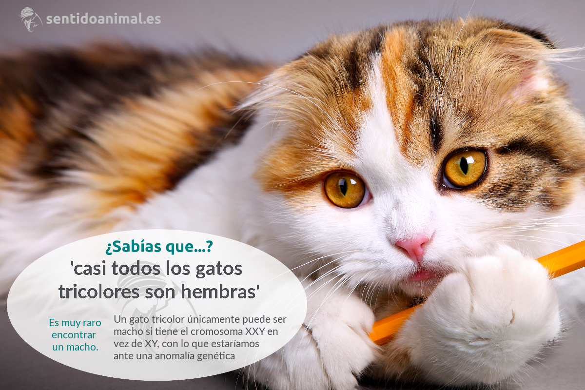 ¿Sabías que la mayoría de los gatos tricolores, son gatas?