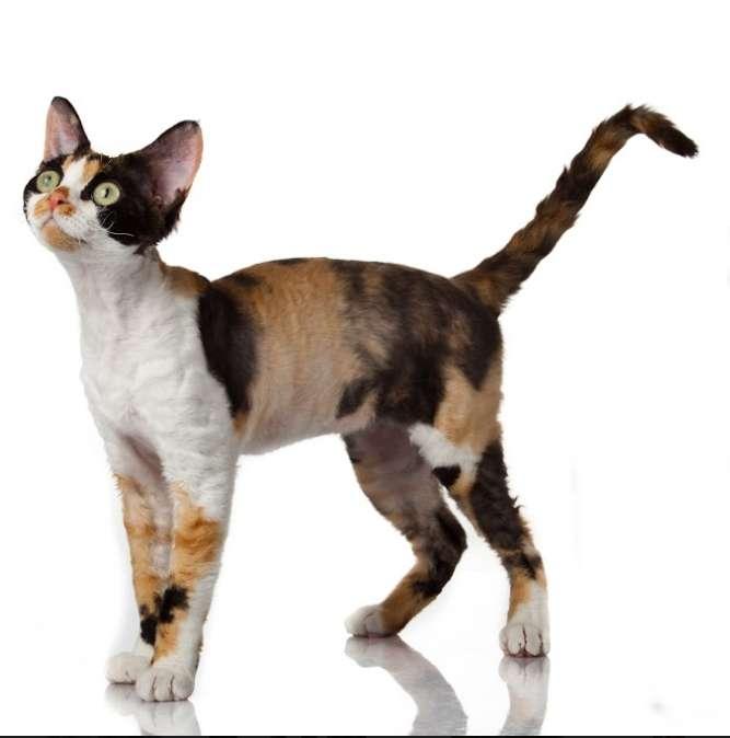 Sabías que la mayoría de los gatos tricolores, son gatas? | Sentido ...
