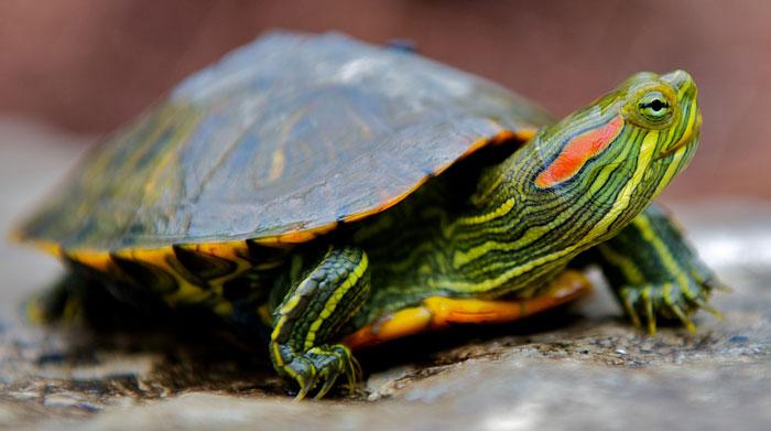 Especies invasoras: la tortuga de Florida