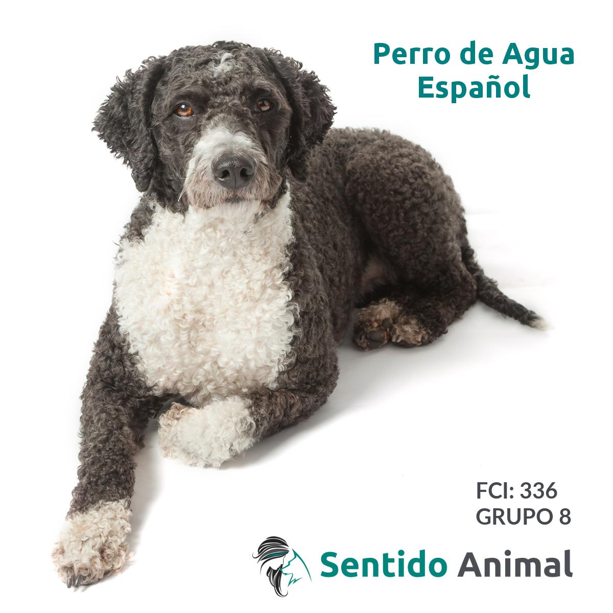 Preguntas y respuestas sobre razas del FCI: el Perro de Agua Español