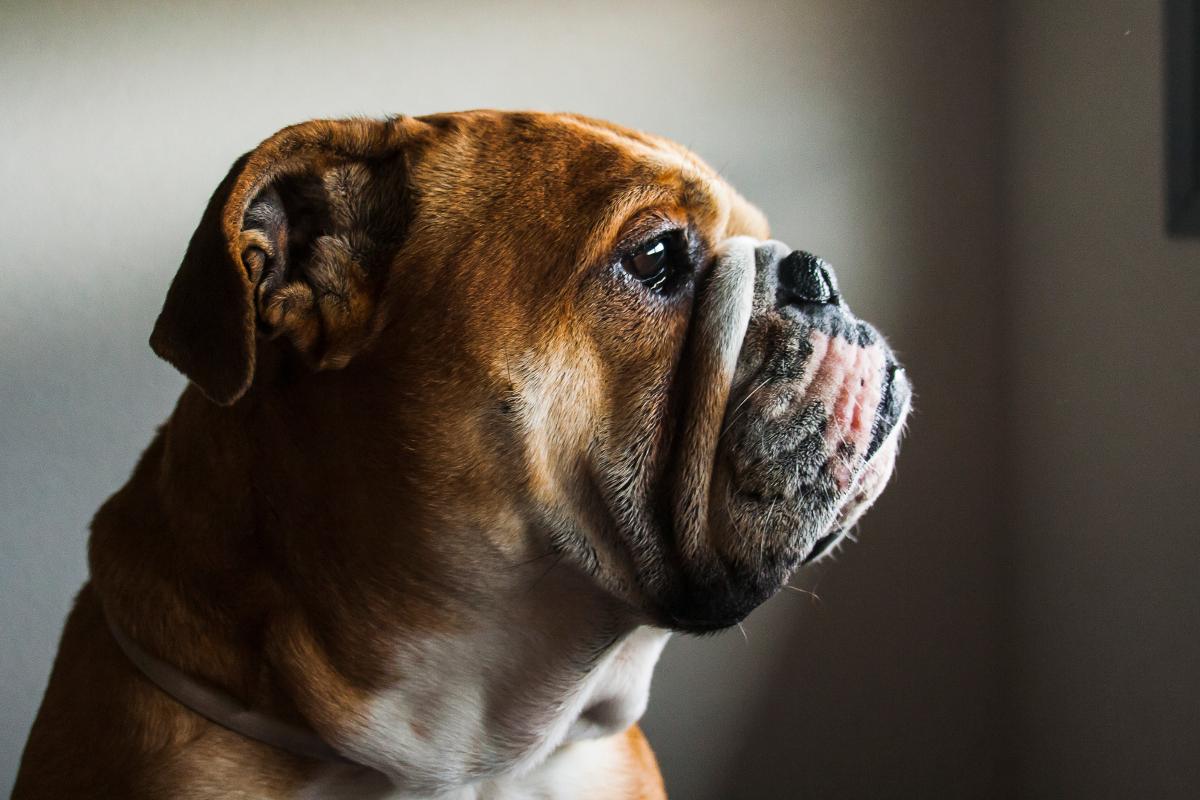Preguntas y respuestas sobre… El Bulldog Inglés