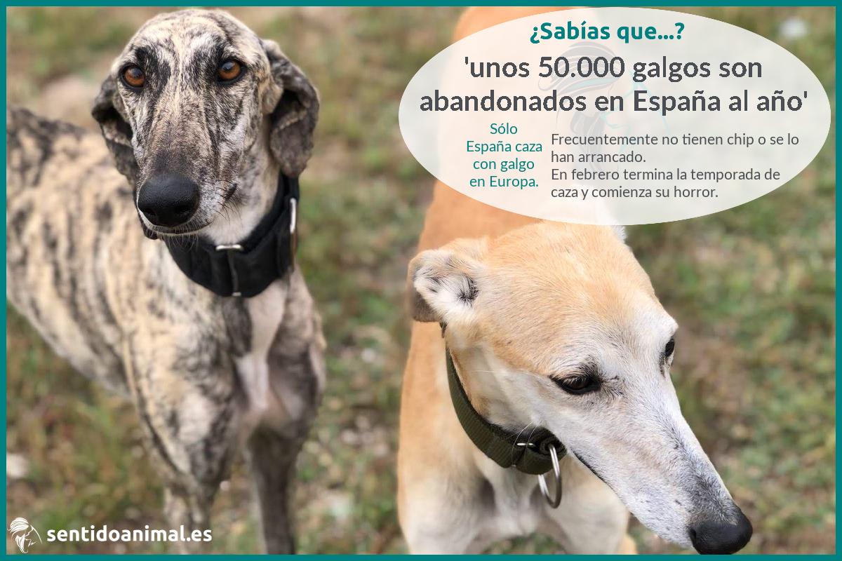 ¿Sabías que en España se abandonan 50.000 galgos al año?