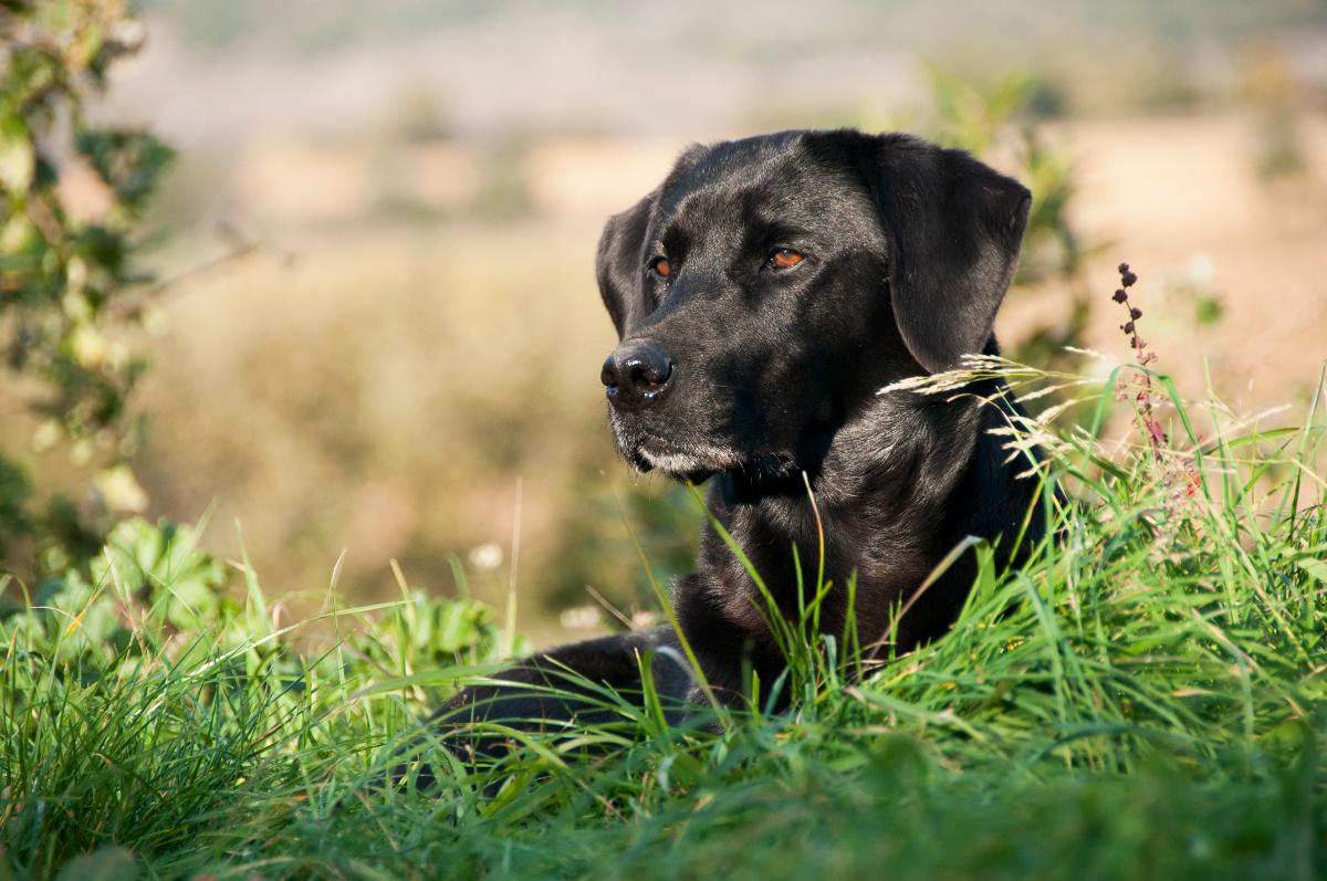 Preguntas y respuestas sobre… El Labrador Retriever