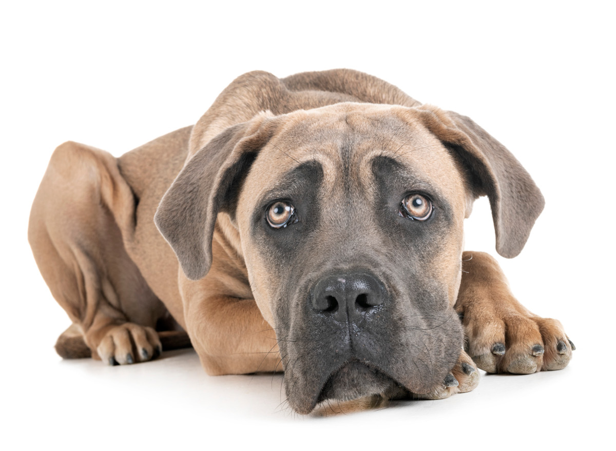 Cómo afecta regañar al perro que destroza en casa
