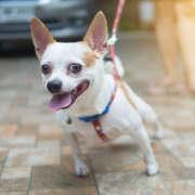 Chihuahua tira de la correa