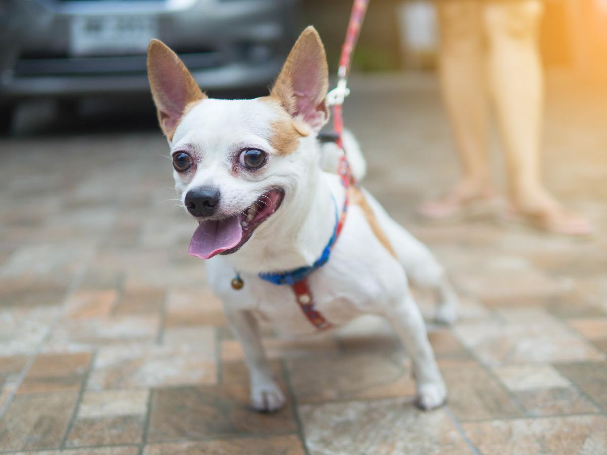 ¿Qué puedo hacer si mi perro tira de la correa?