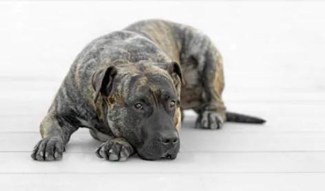 Preguntas y respuestas sobre razas del FCI: el Dogo Canario