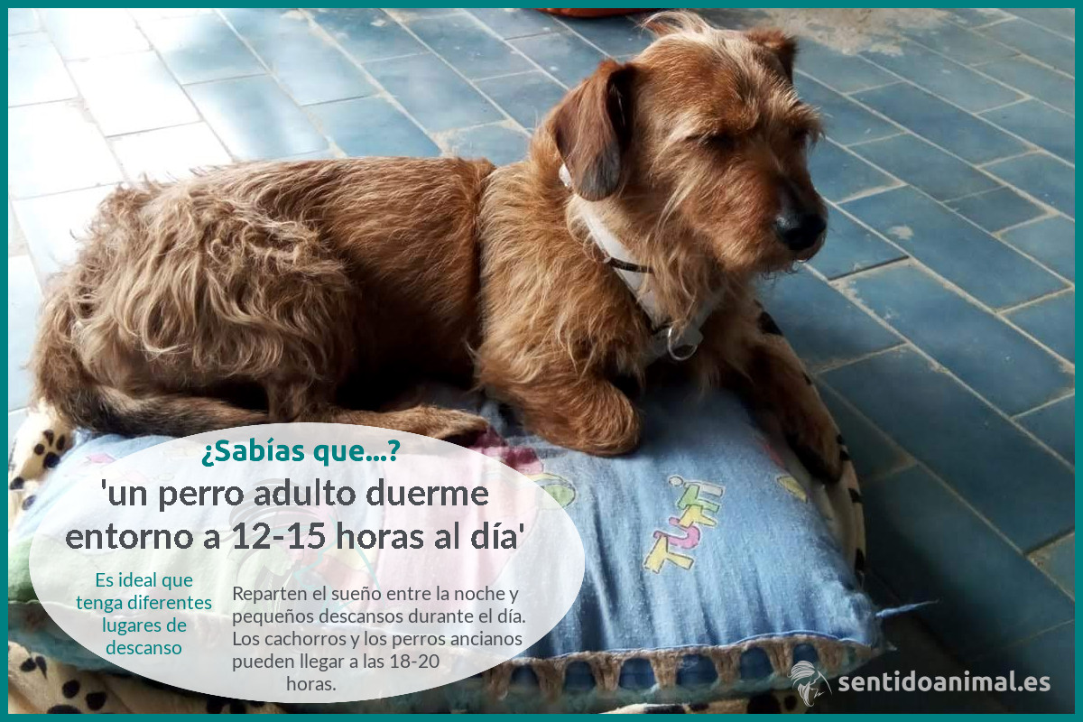 ¿Sabías que un perro adulto duerme 12-15 horas al día?