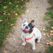 Bulldog francés simpático