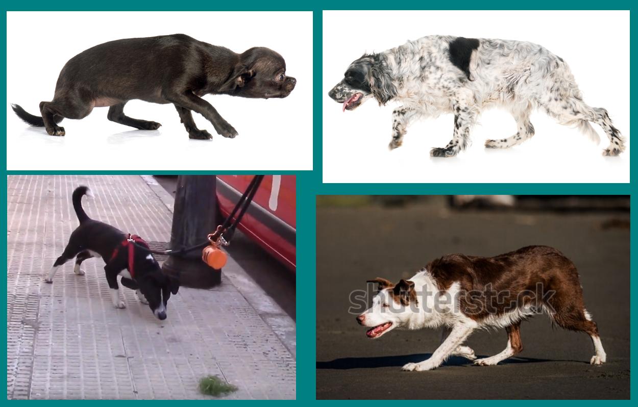 Acecho - comunicación canina