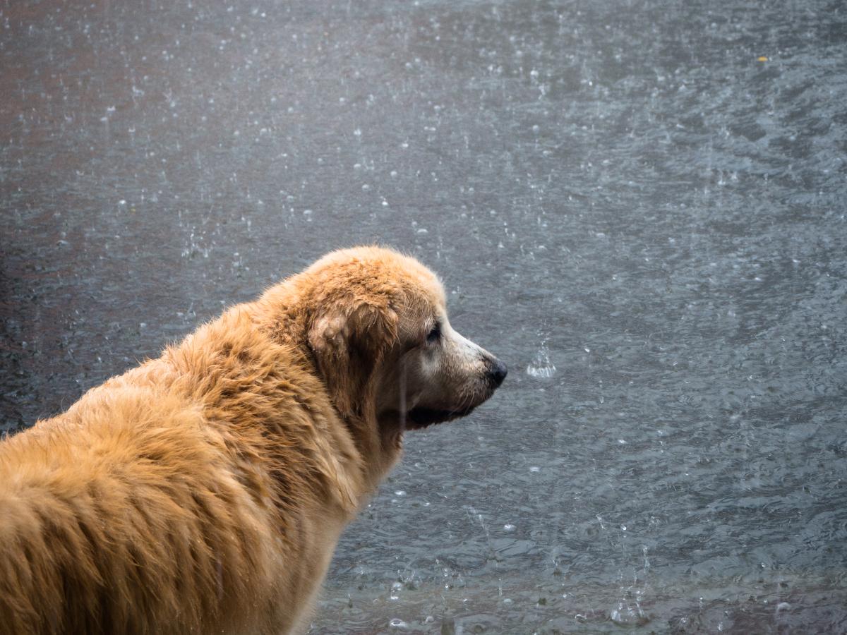 Perro en una inundación