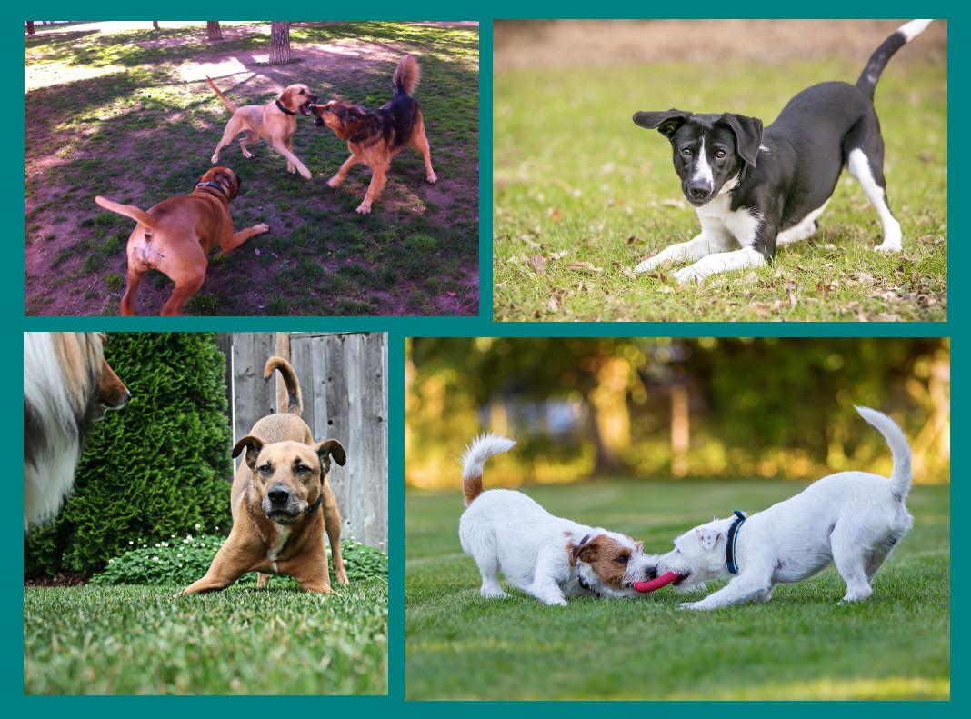Juego entre perros