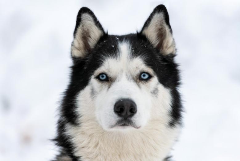 Preguntas y respuestas sobre… el Husky Siberiano