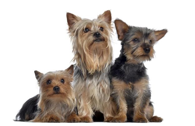Grupo de 3 Yorkshire Terrier