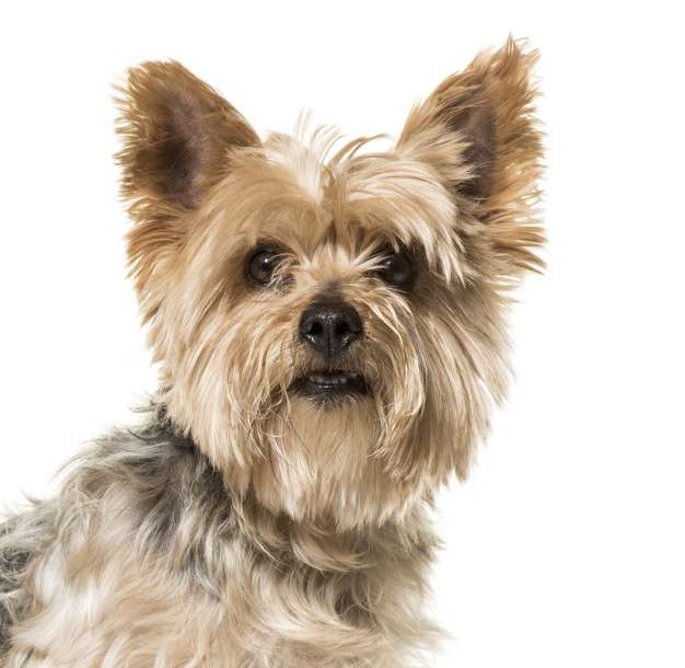 Preguntas y respuestas sobre… El Yorkshire Terrier