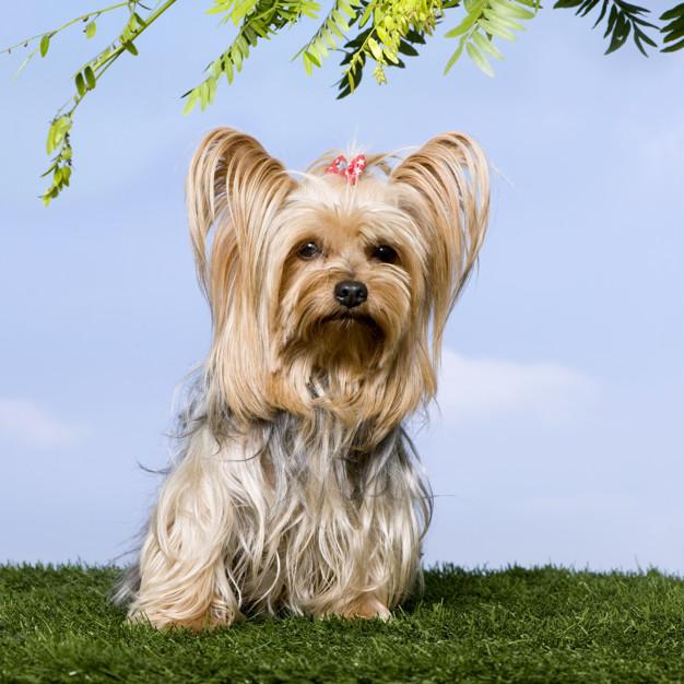 Yorkshire Terrier sentado en la hierba